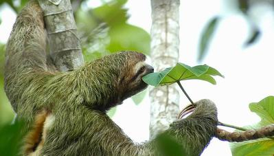 three-toed_sloth