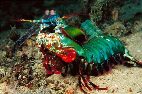 mantis-shrimp-n