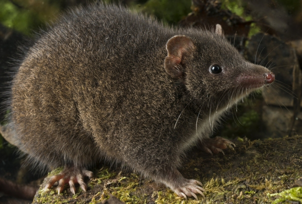 Black-Tailed-antechinus-8