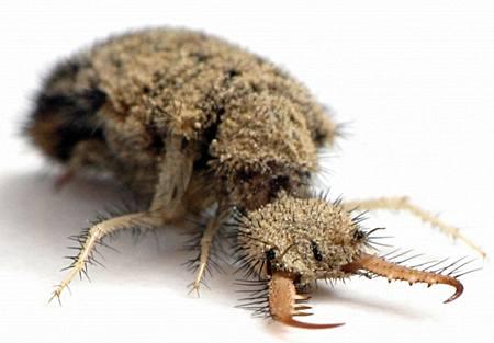 antlion-larva