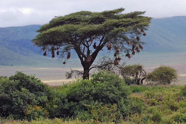 buffalo_weaver_nests,_ngorongoro__square