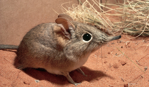 elephantshrew